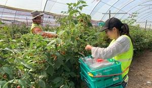 Úc cấp thị thực nông nghiệp để thu hút lao động nhập cư châu Á